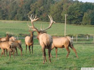 Mariah Elk Farm